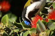 Stock Photo of male blue-faced honeyeater detail closeup