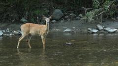 Deer in the river. Stock Footage