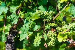 Grapes in a wine yard - stock photo