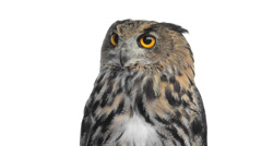Close-up of an eurasian eagle owl looking around Stock Footage