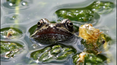 Common frog Stock Footage