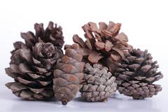 Close up pine cone Stock Photos