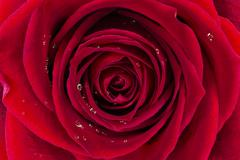 Stock Photo of red rose background