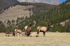 Elk Herd in rut - stock photo