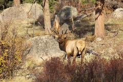 Stock Photo of Bull Elk
