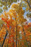 fall colors in the canopy - stock photo