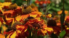 Bee, bees, honey bee, honeybee, flowers Stock Footage