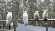 Stock Video Footage of cockatoo's in rain