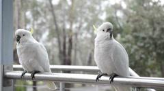 Cockatoo's in rain Stock Footage