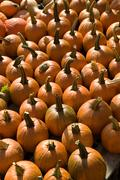 Stock Photo of Field of pumpkins