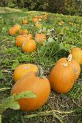 Stock Photo of Pumpkins growing in a field