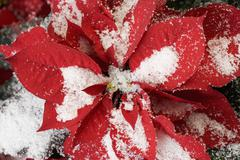 Stock Photo of Snow covered poinsettia