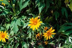 Kukka zinnia lila väri Kuvituskuvat