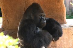 Gorilla Kuvituskuvat
