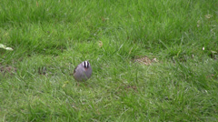 White-Crowned Sparrow Feeding on the Ground Stock Footage