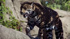 Female Jaguar Walking Stock Footage