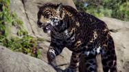 Stock Video Footage of Female Jaguar Walking