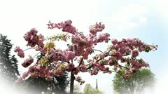 Blossom tree with pink flowers Stock Footage