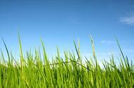 Rice with blue sky Stock Photos