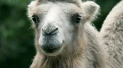 Front shot of animal camel in captivity in zoo standing and looking in to the - stock footage