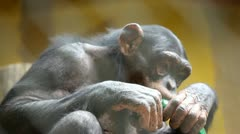 Monkey in zoo playing with plastic bottle Stock Footage