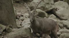 Capricorn in zoo walking Stock Footage