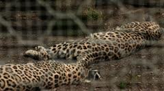Cheetah in zoo lying and sleeping Stock Footage