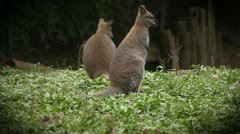 Wild animals in captivity in zoo, two pretty kangaroos sitting and looking Stock Footage