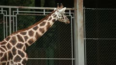 Wild anima giraffe in a captivity in zoo. Stock Footage