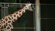 Stock Video Footage of Wild anima giraffe in a captivity in zoo.