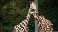 Giraffes in Ljubljana zoo walking. Stock Footage