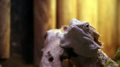 Iguana staring. Stock Footage