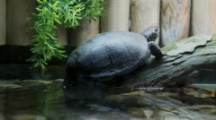 Turtle resting in a tree, above the water in captivity in zoo. Stock Footage