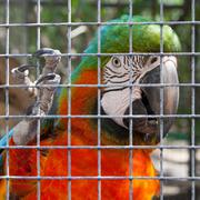 colorful parrot in captivity - stock photo