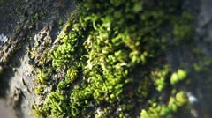 Close up of moss on the tree. Stock Footage
