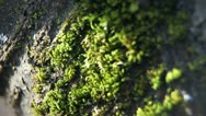 Stock Video Footage of Close up of moss on the tree.