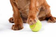 English cocker spaniel dog and ball Stock Photos