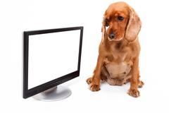 Stock Photo of english cocker spaniel dog and blank screen