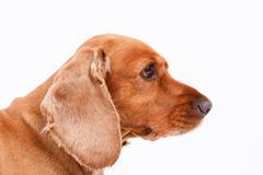 english cocker spaniel dog head - stock photo