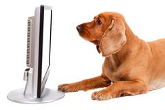 english cocker spaniel dog looking blank screen - stock photo