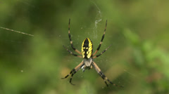 Black and Yellow Argiope (Argiope aurantia) Spider - Female 3 Stock Footage