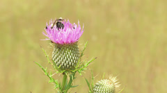 Bumble Bee (Bombus sp.) feeding on Thistle 1 Stock Footage