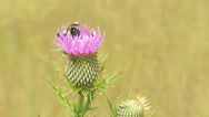 Stock Video Footage of Bee feeding on Thistle 1