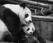 Mother panda cuddling her cub Stock Photos