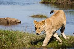 Leijonanpentu lähellä jokea Kuvituskuvat