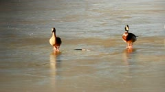 Three ducks walking on slippery mixture of ice and mud Stock Footage