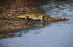 Alligator walking out of water Stock Photos