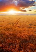 Vehnä kentän yli auringonlasku Kuvituskuvat