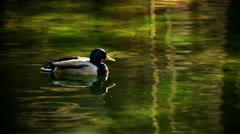 Duck swimming in water with color correction Stock Footage
