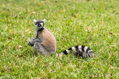 Lemur catta of madagascar Stock Photos